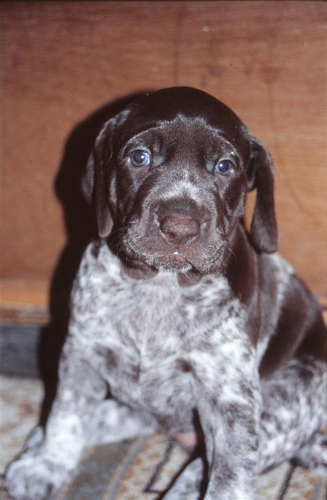 Facts About the German Shorthaired Pointer Dog Breed