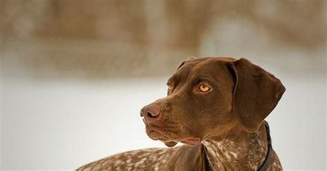 Size and Weight of German Shorthaired Pointer - Annie Many