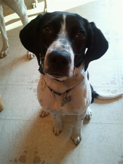 Boingle (Beagle-German Shorthaired Pointer Mix) Info and